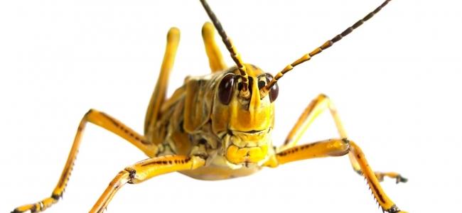 Skakavac, obad i drugi insekti